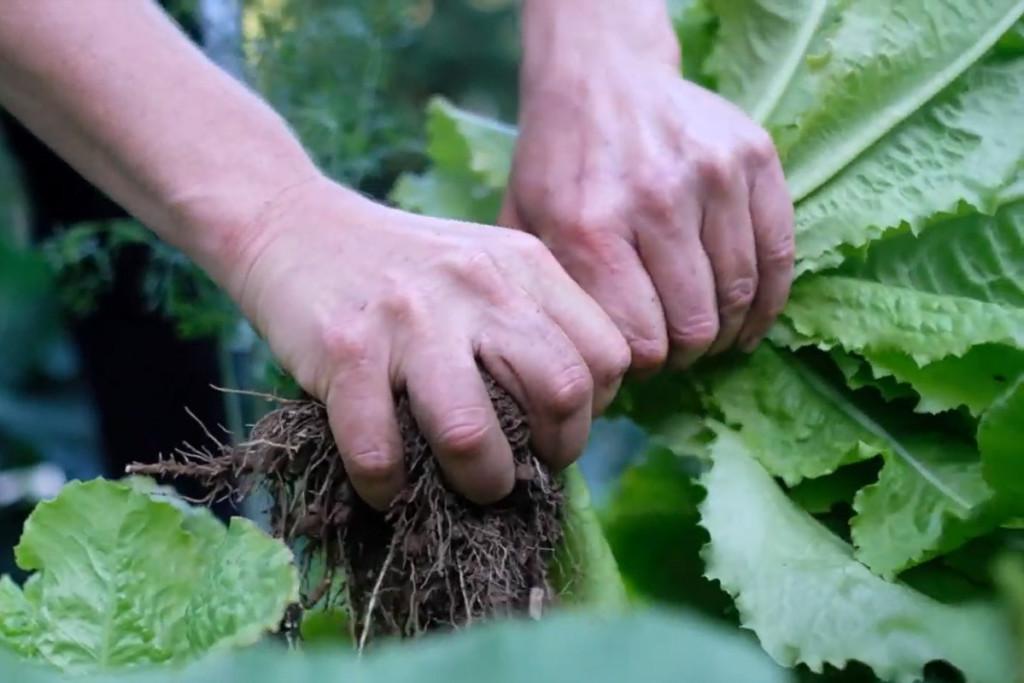 Fresh romaine lettuce harvested straight from the garden