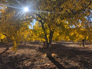 Dry farmed walnut groves with the sun shining through the trees.