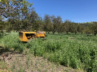 Dry farmed walnut groves being harvested. Long lush green grass surrounds harvesting equipment.
